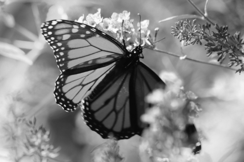 black and white, butterflies and rainbows