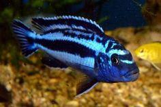 T fish